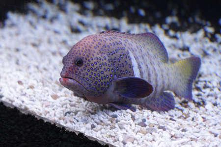 Big spotty fish laying on the aquarium bottom photo