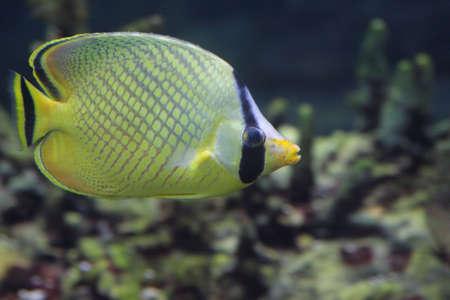 Yellow fish with stripe on eye in aquarium Stock Photo - 3326664