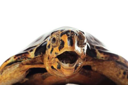 over the sea: Big sea turtle closeup photo over white background