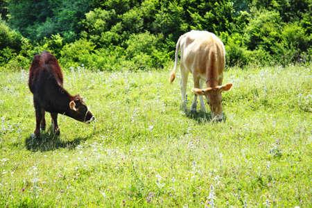 bush hog: Vaca y de cerdo en la alimentaci�n de los pastos de hierba Foto de archivo