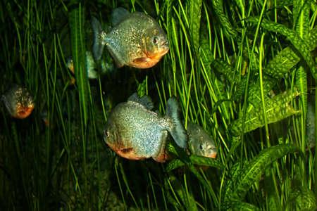 piranha: Piranha fish shoal swimming among water plants