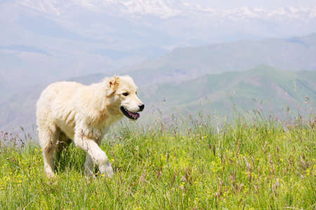 Dog walking by mountain grass in summer photo