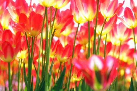 Growing tulipa closeup view from below photo