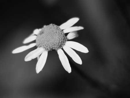 black and white ox-eye daisy Stock Photo