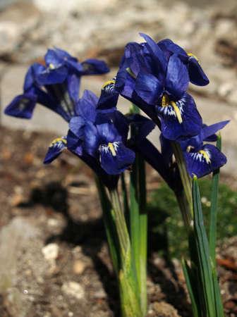 spring blue iris Stock Photo - 12811751