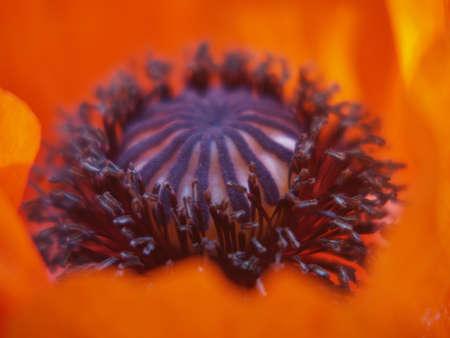 orange poppy detail