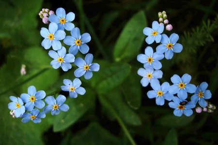 Two forget-me-not flowers photo