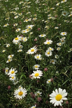 marguerite ox-eye daisy meadow