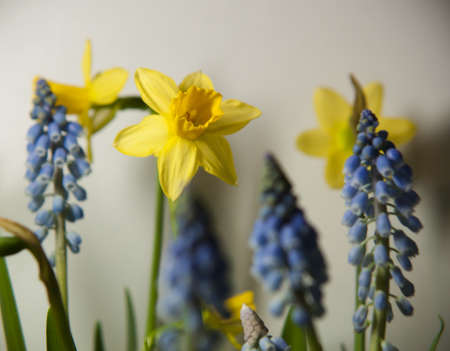 Daffodils and grape hyacinths spring flowers Stock Photo - 12982645