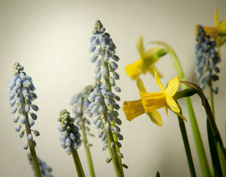Daffodils and grape hyacinths spring flowers