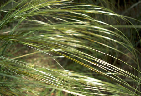 stipa grass in sunlight Stock Photo