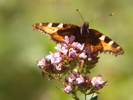 Orange butterfly on a flower, Aglais urticae