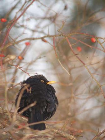 Blackbird, ousel on a rose shrub in winter