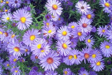 autumn violet aster flowers