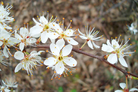 Blackthorn blossoms Stock Photo - 13170992