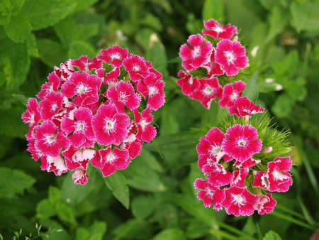 chinensis: pink dianthus chinensis flower Stock Photo