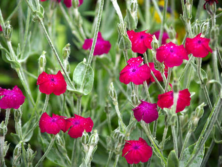 lychnis coronaria, pink garden dusty miller Stock Photo