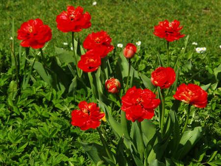 Big red flowers of garden tulips