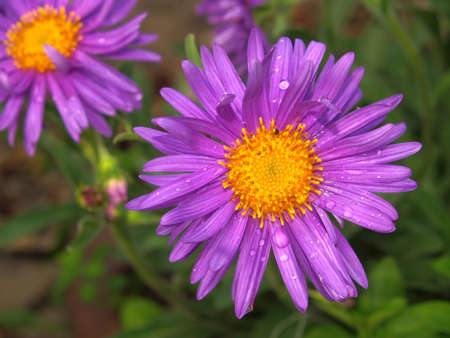 A close up of an aster alpinus flower Stock Photo