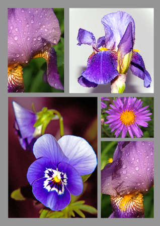 Collection of violet spring garden flowers, iris, violet and aster