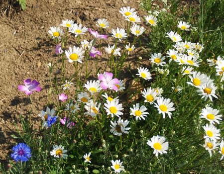 mixture: marigolds, cropflowers - meadow mixture