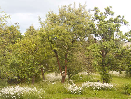 Garden with apple trees and flowering meadow in May