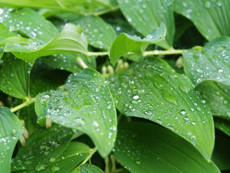 Polygonatum leaves with drops of water