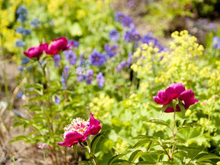 alchemilla: Una vista su un letto di fiori perenni, peonie, alchemilla