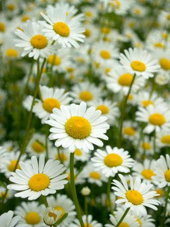 ox eye: Ox - eye daisy, floral background