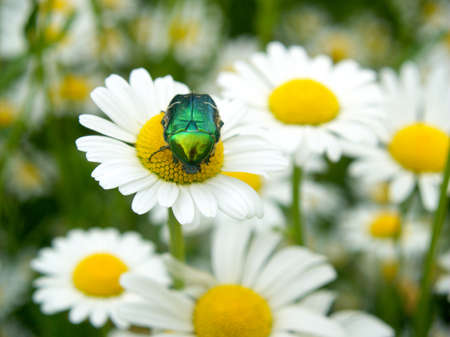 Ox - eye daisy, floral scenery with a Goliath beetle