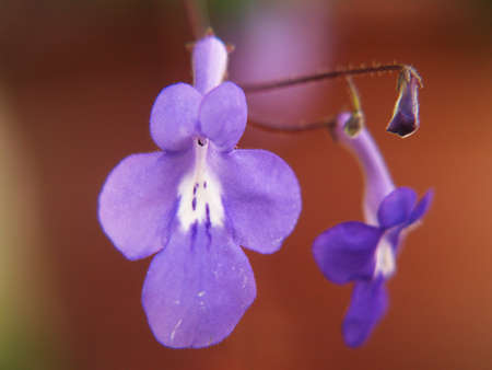 streptocarpus flower in detail