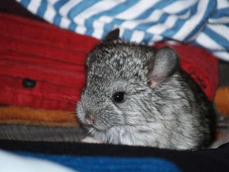 lanigera: small chinchilla kid