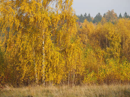 yellow autumn forest, birches photo