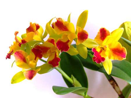 cattleya orchid yellow and red flowers photo