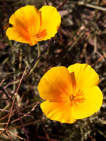 californian: eschscholzia californica, californian poppy Stock Photo