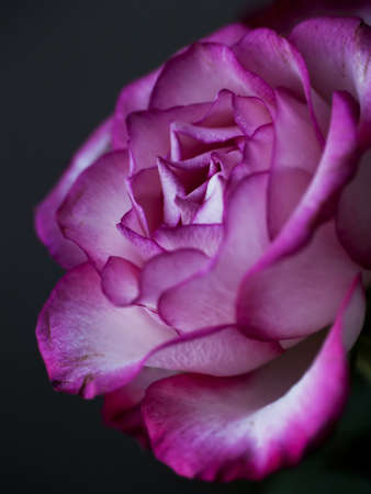 A closeup of a pink and white romantic rose Stock Photo - 16135563