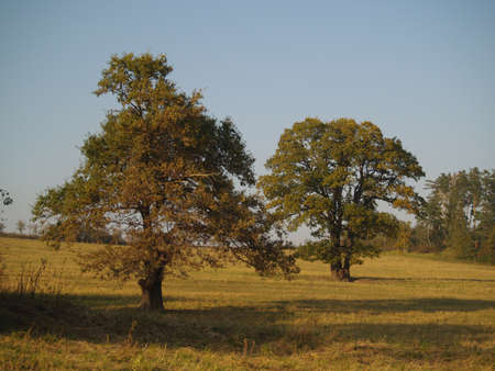 two solitaire trees on a meadow
