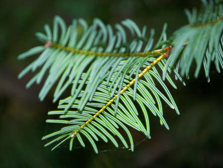 fir branch detail Stock Photo