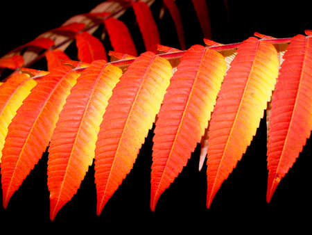 autumn red and orange leaves, rhus typhina tree