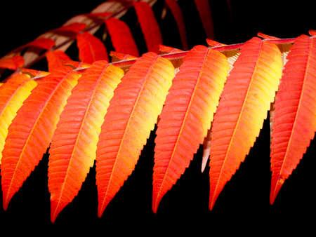 autumn red and orange leaves, rhus typhina tree