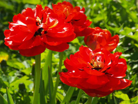 red full flower tulips Stock Photo