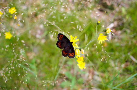 virgaureae: Red Admiral Butterfly (Vanessa atalanta) on a meadow. Peacock butterfly on yellow flower at summertime Stock Photo