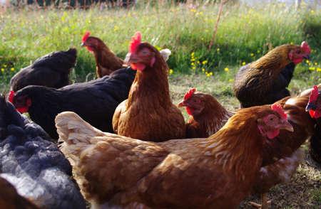 Free range chickens roam the yard on a farm. Chickens on traditional free range poultry farm