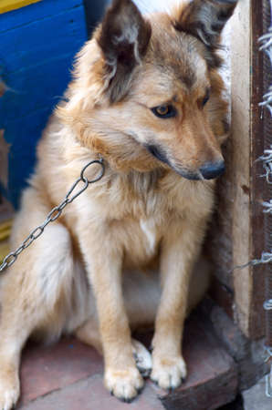 watchdog: Mixed breed watchdog on a chain in a dog kennel in a daylight.The dog in the village