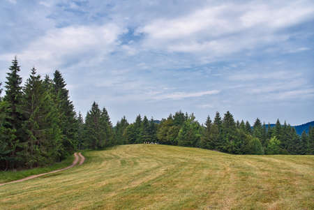 Pine trees near the path through meadow on the hillside. Green flower meadow in the Vosges mountains, France.