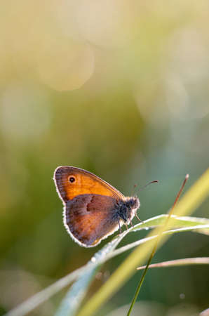Morning butterfly on green meadow.Small Cute brown butterfly sitting on a blade of grass.Beautiful insect macro.Natural background