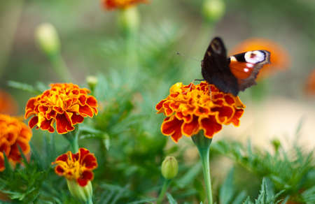 black textured background: Red Admiral Butterfly (Vanessa atalanta) on a meadow. Peacock butterfly on marigold flower at summertime.Natural background of Marigold and Tagetes flowers in the meadow, selective focus.Beautiful summer garden in bloom