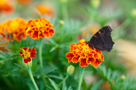 Red Admiral Butterfly,Vanessa atalanta,on a meadow. Peacock butterfly on marigold flower at summertime.Natural background of Marigold and Tagetes flowers in the meadow, selective focus.Beautiful summer garden in bloom