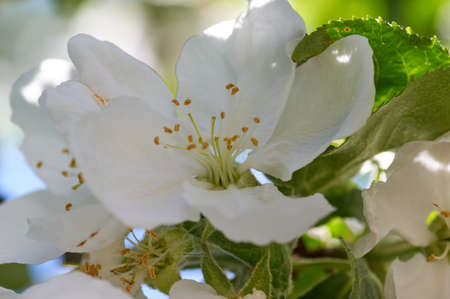 Beautiful flowers of the blossoming apple tree in the spring time Stock Photo