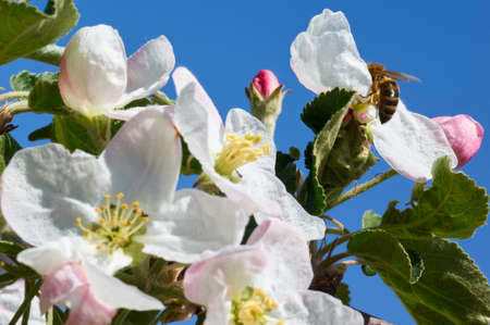 Bee on a spring flower collecting pollen and nectar.flying bumblebee at spring apple tree flowers background.Flower Bloom Nature Concept Reklamní fotografie - 98551729